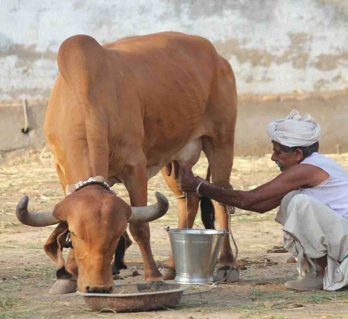 Desi Cow Milk
